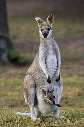 (Queensland) Brisbane, Lone Pine Koala Sanctuary